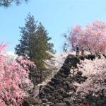小諸城の日本100名城・桜