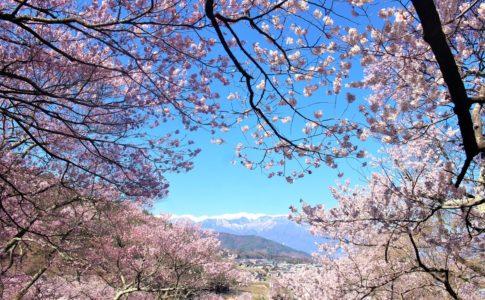 高遠城の桜まつり